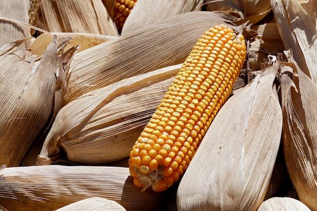 新鮮な収穫の熟したトウモロコシのヒープ