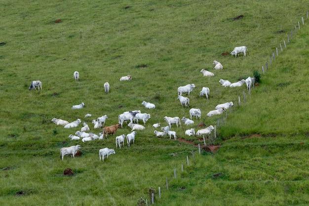 Нелорский скот пасется на зеленой траве холма