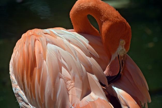 Крупным планом карибского фламинго на озере