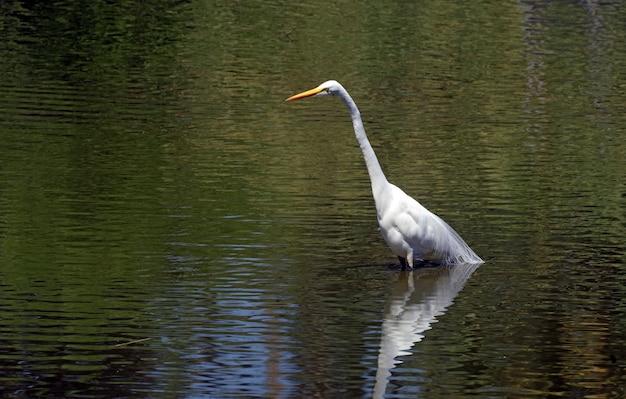 Большая белая цапля на мелководном озере