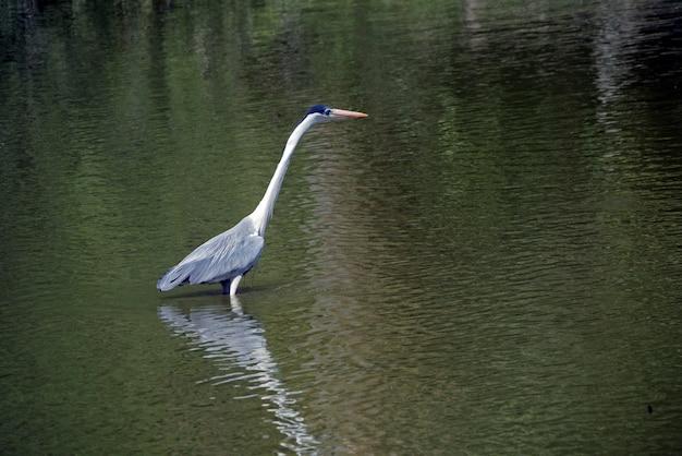 Кокон цапля рыбалка в мелком озере