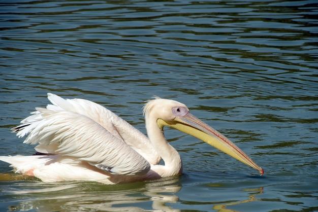 Белый пеликан, купание в голубом озере