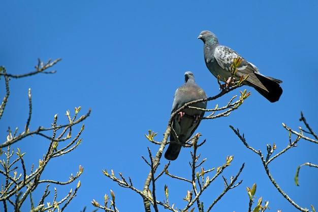 Рок голубь на вершине сухих веток под голубым небом