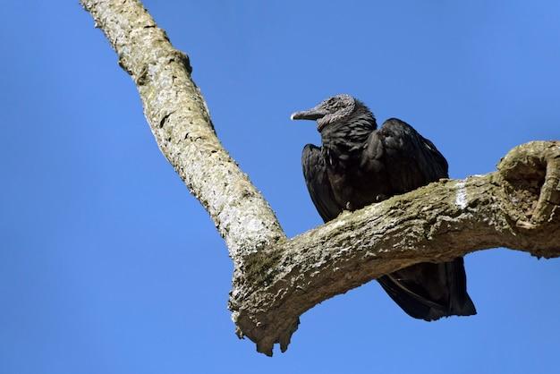 Черный гриф на ветке дерева под голубым небом