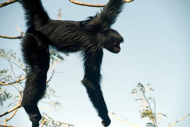 Перуанская паук обезьяна на ветке дерева