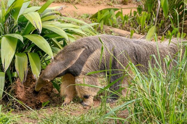 シロアリを掘るオオアリクイのクローズアップ