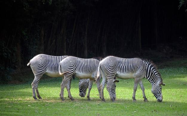 Выстроились три зебры, пасущиеся на зеленой траве