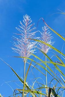 サトウキビの花