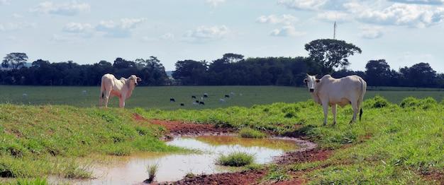 Скот зебу, породы нелор, на пастбище