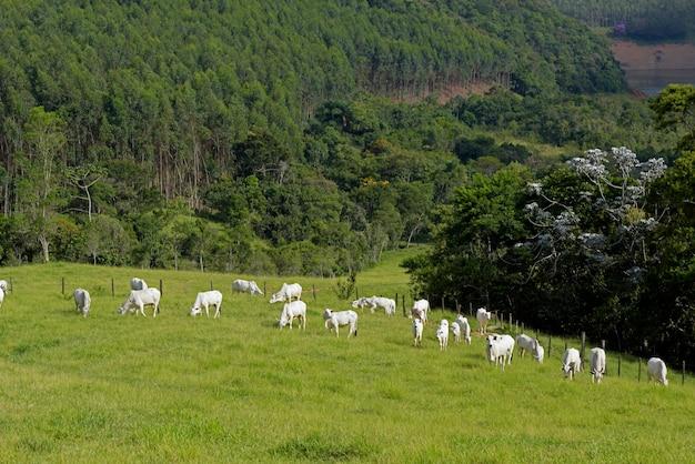 Нелорский скот на пастбище в сельской местности бразилии