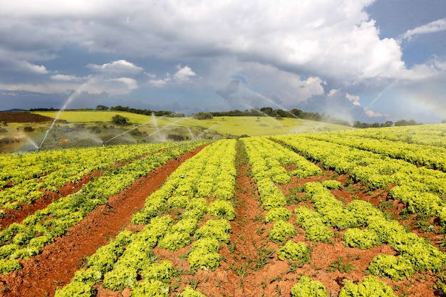 Орошение в плантации салата