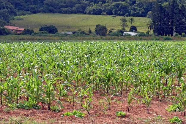 Молодые кукурузные плантации, в семейной ферме