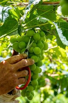 農家がテーブルブドウの房を洗浄