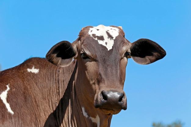 Крупный план головы крупного рогатого скота под голубым небом