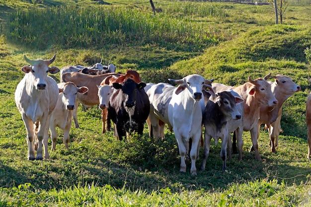 牧草地、サンパウロ州、ブラジルの牛