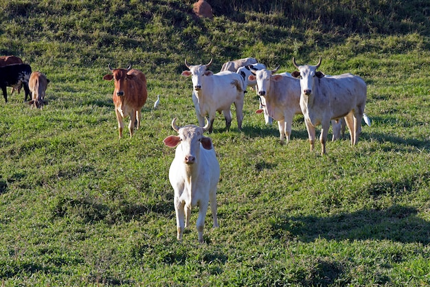Скот на пастбище, штат сан-паулу, бразилия