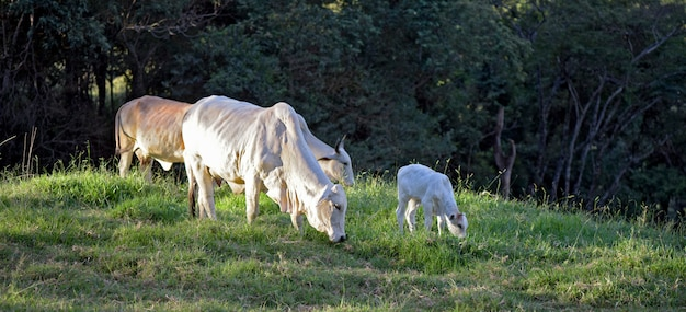 Нелорский скот на зеленых пастбищах на холме