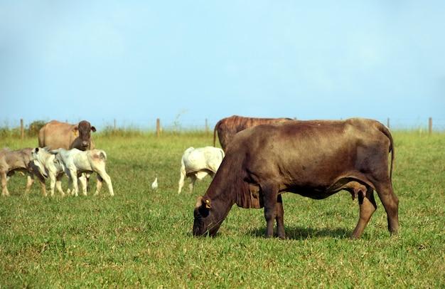 Сельский пейзаж со скотом, травой и голубым небом