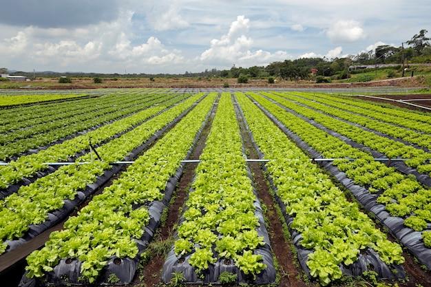 Большой вид плантации салата