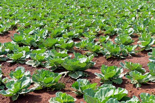 Широкий вид на плантацию капусты
