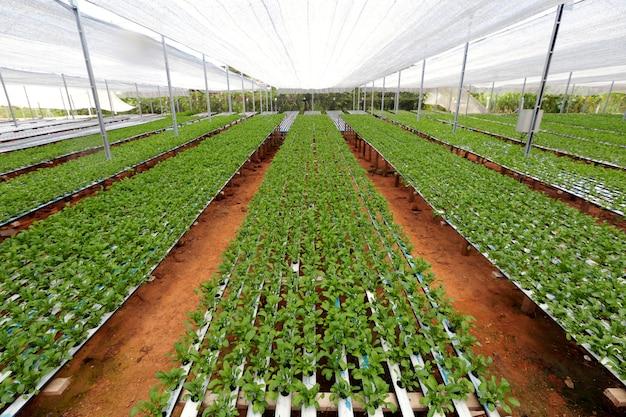 Плантация салатов руккола по системе гидропоники