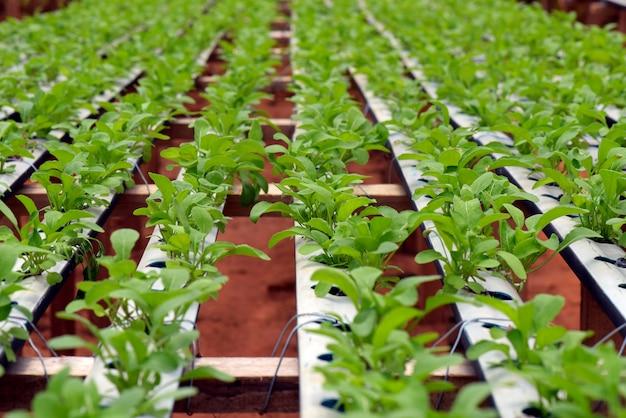 水耕栽培システムによるロケットサラダの植栽
