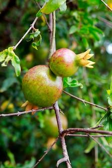 熟した果物とザクロの木