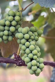 つるのブドウの房のクローズアップ
