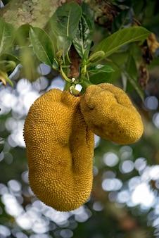熟した果物とジャックフルーツの木のクローズアップ