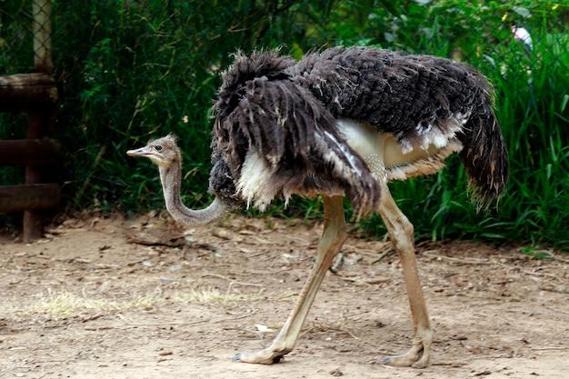 Крупный план страуса над темнотой