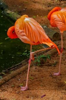 Фламинго крупным планом над темной