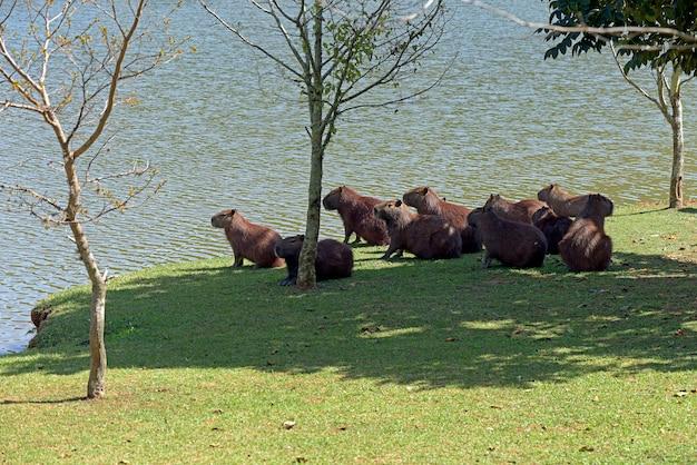 水辺で日光浴するカピバラの群れ
