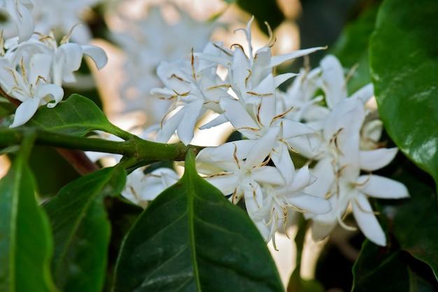 Полностью цветущее кофейное дерево