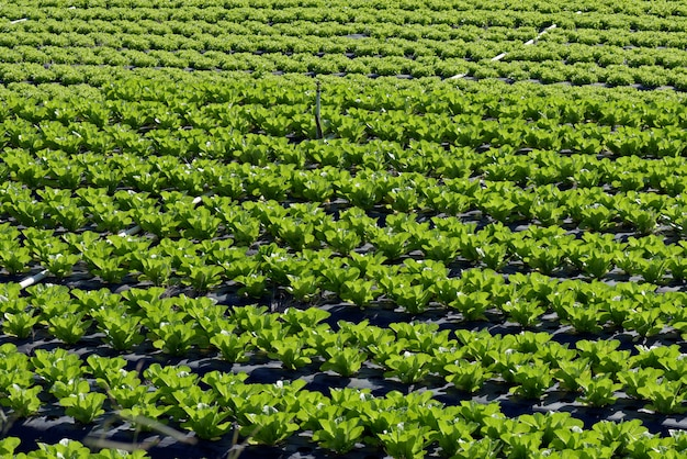 Обзор плантации салата