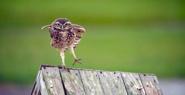 Роющая сова на деревянной крыше