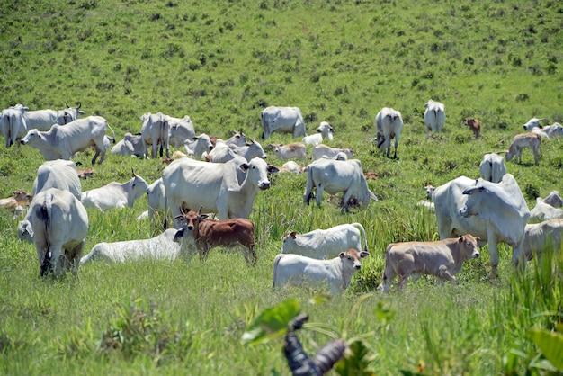 Нелорский скот на зеленом пастбище