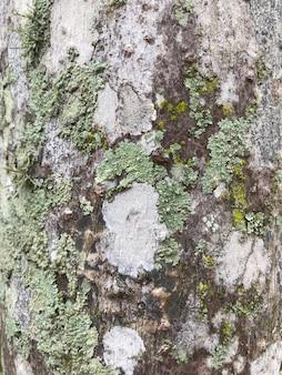 木の樹皮に葉状地衣類の成長