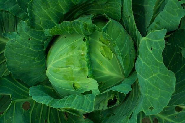 新鮮な若いキャベツが庭のベッドで育ちます。その概念は農業です。