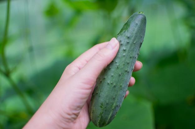 温室の枝に成長している若い、緑のキュウリ。