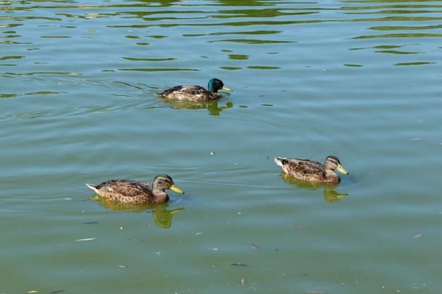 Три утки плавают