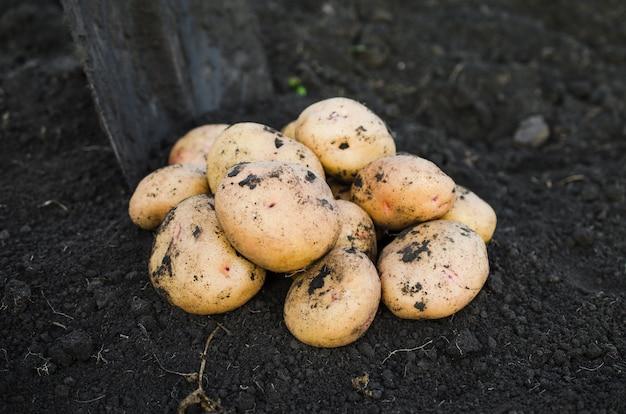 地球から採りたての生態学的ジャガイモを収穫します。