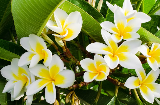 プルメリアフランジパニ、プルメリアルブラ。白と黄色の花を持つ観葉植物。