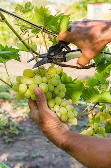 つるの収穫。熟したジューシーなブドウの房を切る農夫の手。自然、バイオ、オーガニック、エコグレープ。