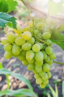 Пук белых виноградин на лозе с зелеными листьями в саде.