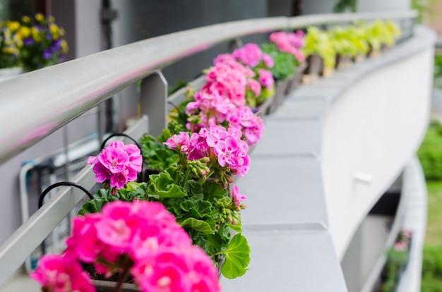Цветочные горшки с красивой цветущей геранью вдоль перил балкона