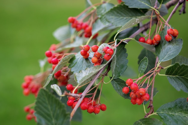 Красные маленькие ягоды, такие как калина или боярышник на ветке дерева