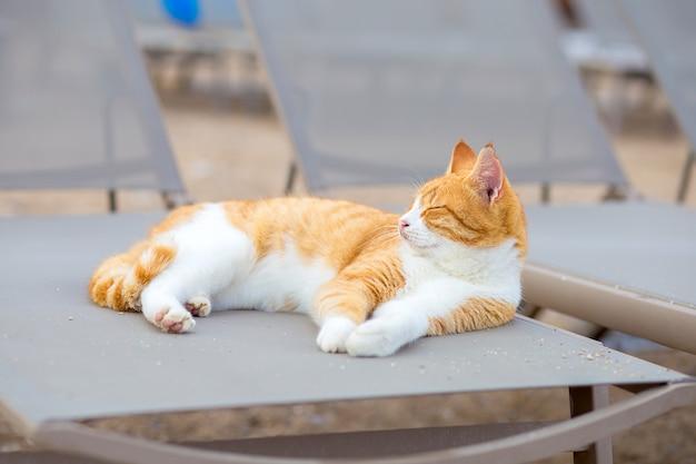 白と赤の猫は銀行のサンベッドのビーチにあります。