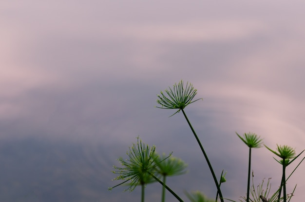 池の背景を持つパピルス植物の焦点とぼやけた写真。