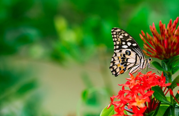 Цветастая бабочка всасывая нектар цветков шипа с свежей зеленой предпосылкой.