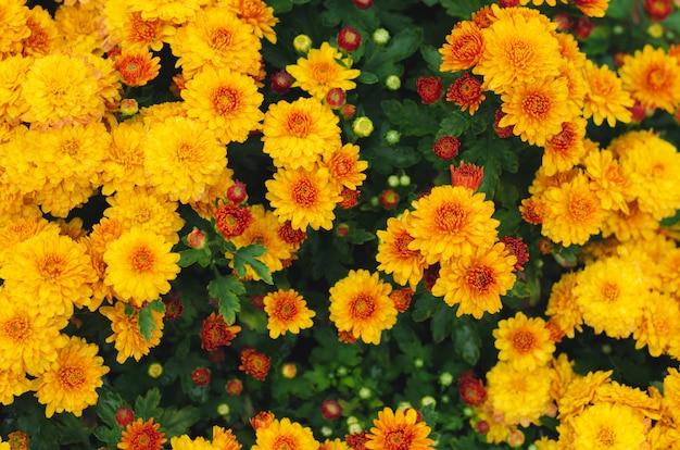 春のシーズンコンセプトの黄色の菊の花の茂み。